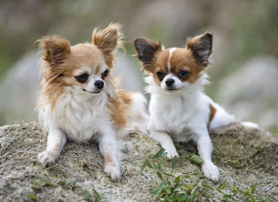 Vuoi un cagnolino? Scegli un cucciolo all'allevamento chihuahua a pelo lungo a Frosinone
